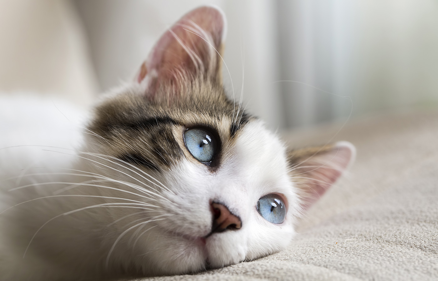 Blue eyed Cat - Image