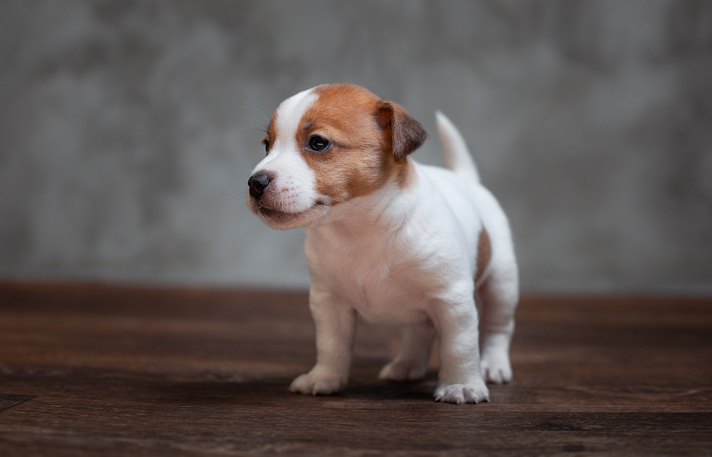 Jack Russell Terrier puppy with brown spots stands on the wooden floor against the background of a gray wall. - Image