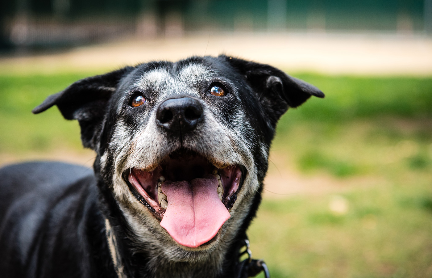 Portrait of a happy old dog at the dog park. - Image